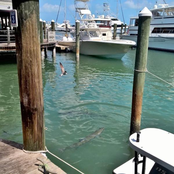 16.04.15 - Key West snapper