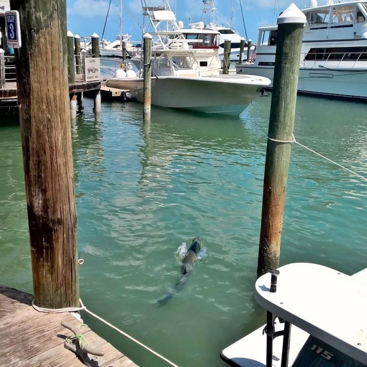 16.04.15 - Key West stor fisk