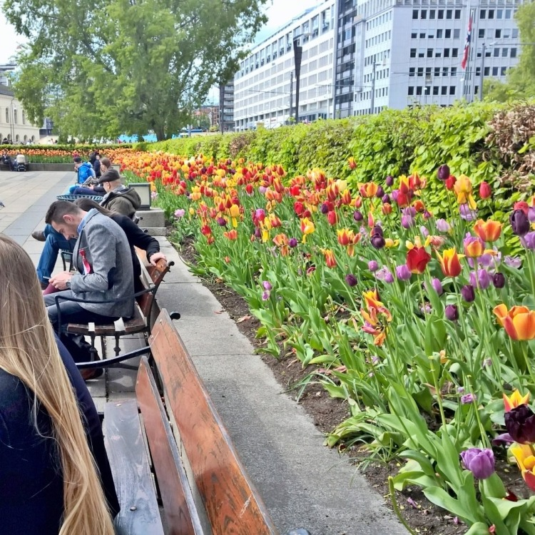 17 mai 2015 - Tulipaner